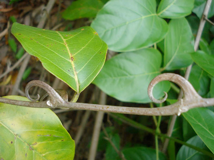 La uña de gato (Uncaria tomentosa) extraordinaria planta medicinal ...