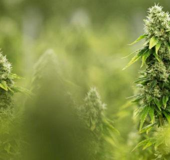 Cannabis sativa, cáñamo, marihuana y cáncer