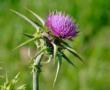 La mucuna (Mucuna pruriens) interesante planta medicinal beneficiosa para atacar el Párkinson y para otros problemas de salud